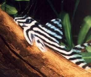 Auryfish pesci di acqua dolce hypancistrus zebra for Pesce pulitore acqua dolce