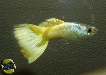 Auryfish pesci di acqua dolce poec ret neon giallo for Neon pesci prezzo