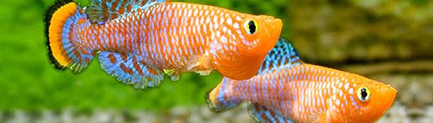 Auryfish pesci di acqua dolce for Pesci acqua dolce